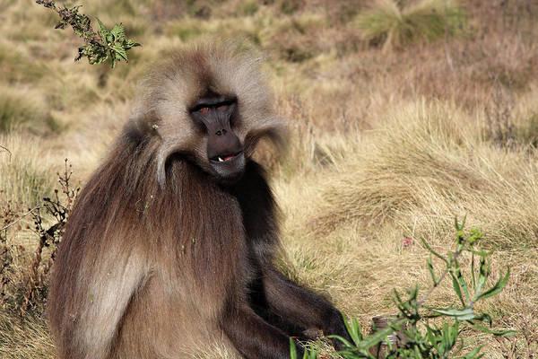 Photograph - Gelada Baboon, Simien Mountains, Ethiopia by Aidan Moran