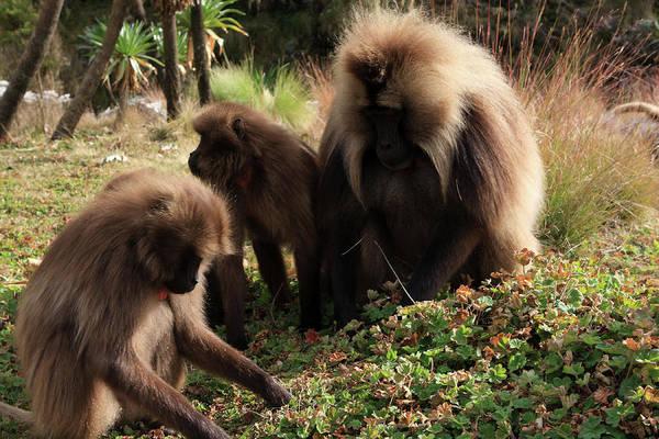 Photograph - Gelada Baboons, Simien Mountains National Park by Aidan Moran