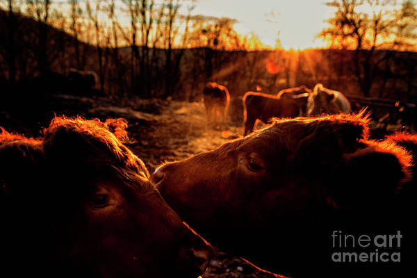 New Preston Ct Photograph - Gentle Beasts by Grant Dupill