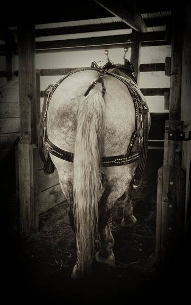 Photograph - Gentle Giant Draft Horse by Theresa Tahara