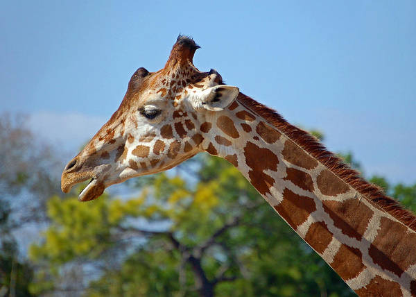 Photograph - Gentle Giraffe by Donna Proctor