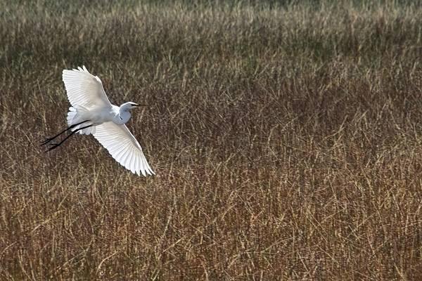Sawgrass Digital Art - Gentle Grace Of Wings by Chrystyne Novack