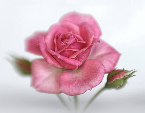 Wall Art - Photograph - Gentle Pink Rose by David and Carol Kelly