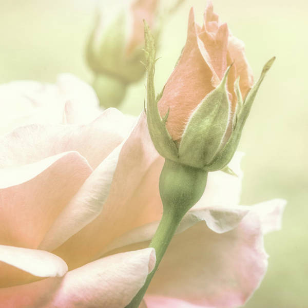 Photograph - Gentle Roses by Bob Orsillo