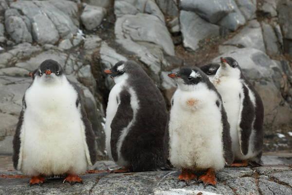 Wall Art - Photograph - Gentoo Penguin Chicks by Bruce J Robinson