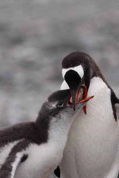 Wall Art - Photograph - Gentoo Penguin Feeding by Bruce J Robinson