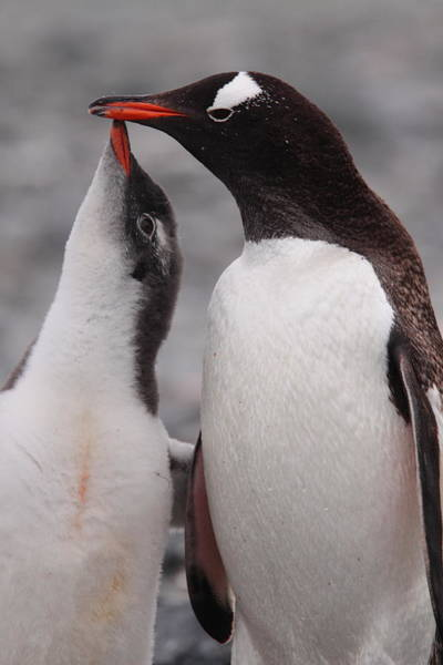 Wall Art - Photograph - Gentoo Penguin Parenting by Bruce J Robinson