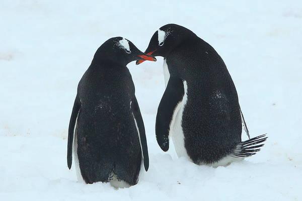 Wall Art - Photograph - Gentoo Penguin Romance by Bruce J Robinson