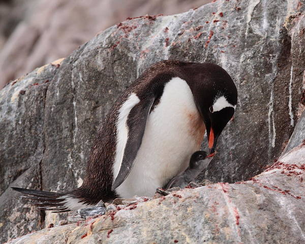 Wall Art - Photograph - Gentoo Penguin With Chick by Bruce J Robinson