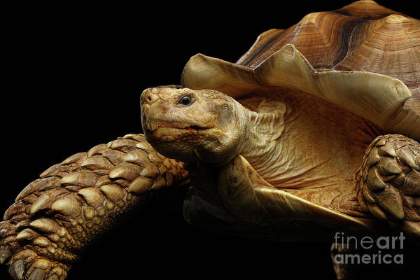 Photograph - Geochelone Sulcata. African Turtle Spurs by Sergey Taran