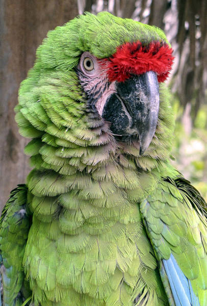 George The Parrot Art Print