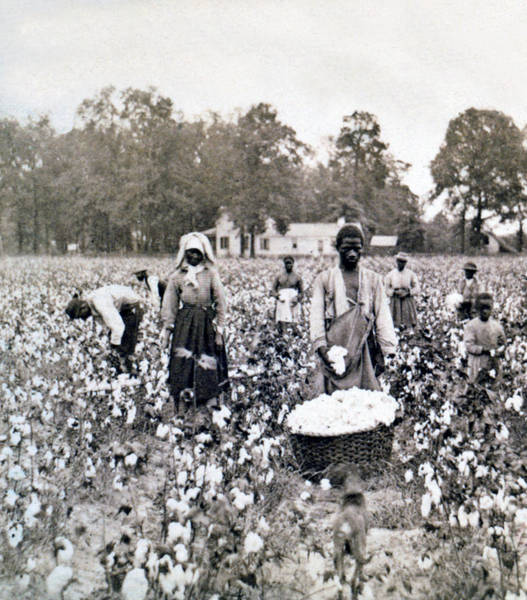 Pickers Wall Art - Photograph - Georgia Cotton Field - C 1898 by International  Images