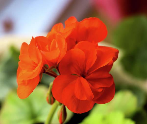 Photograph - Geranium Flower by Cristina Stefan