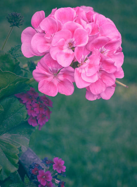 Photograph - Geranium Matted by Garvin Hunter
