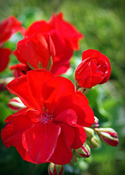 Photograph - Geraniums by Cricket Hackmann