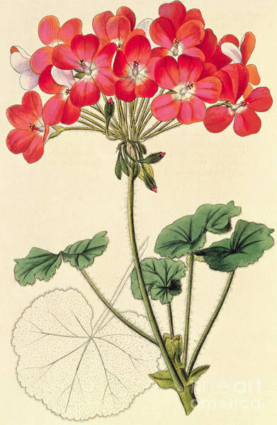 Red Geraniums Wall Art - Painting - Geraniums by Leopold Trattinick