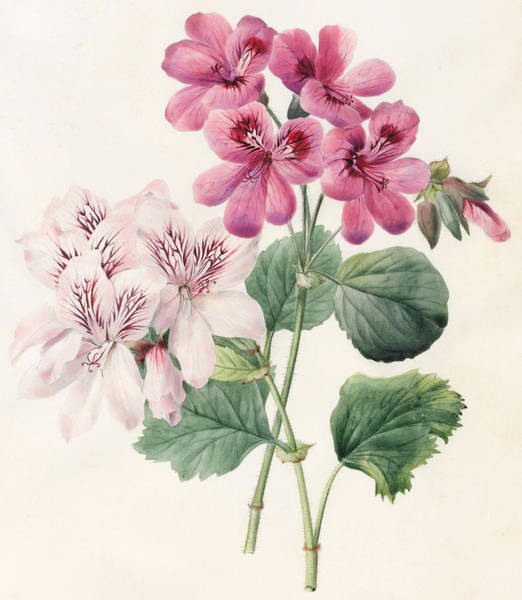 Decorative Drawing - Geraniums by Louise D'Orleans