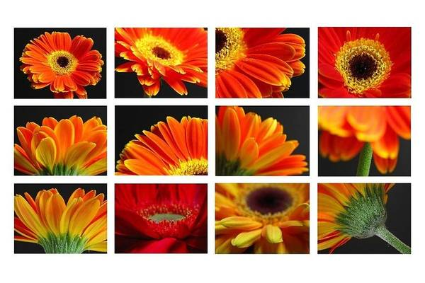 Photograph - Gerber Daisy Greetings by Juergen Roth