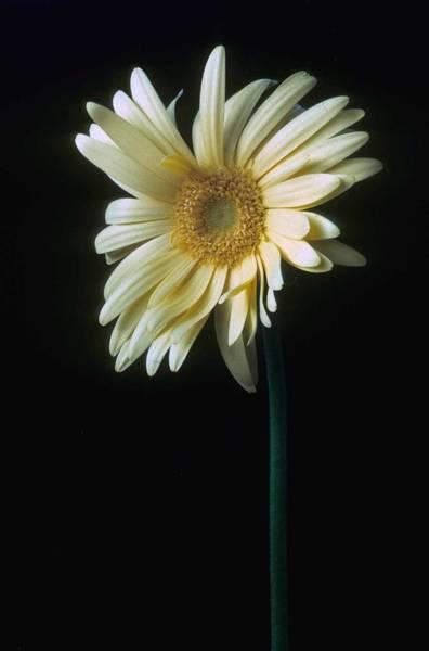 Daisy Photograph - Gerber Daisy by Laurie Paci