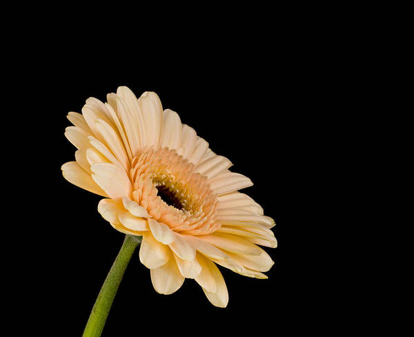 Photograph - Gerbera Daisy On Black by Clare Bambers