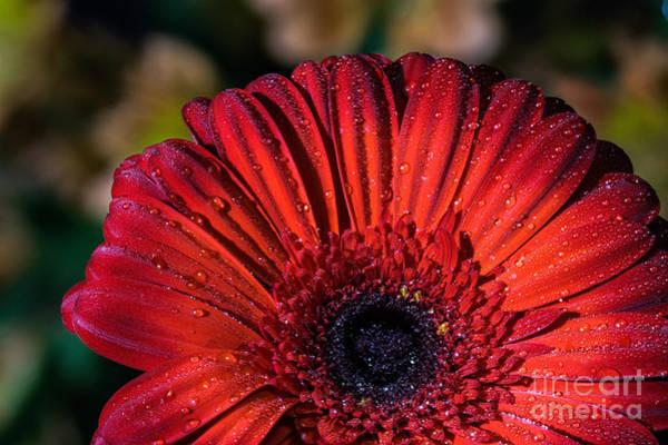Photograph - Gerbera Daisy by Roger Monahan