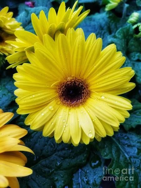 Photograph - Gerbera Daisy Tears by Rachel Hannah