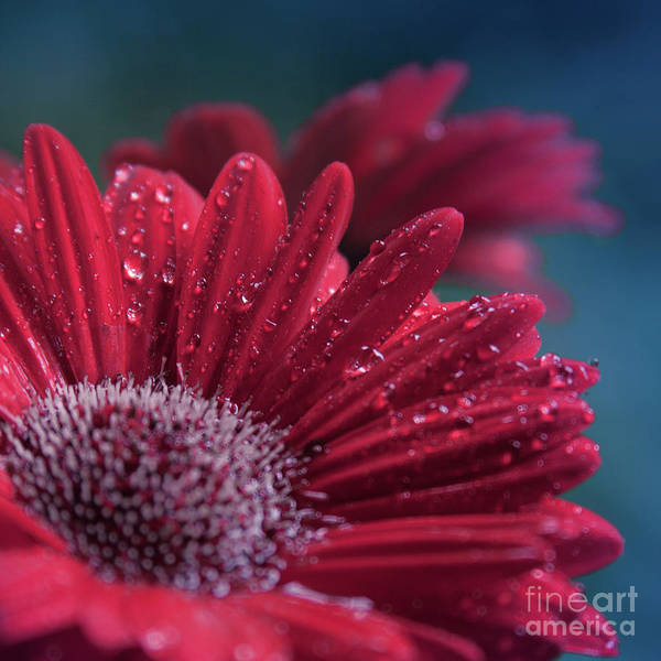 Photograph - Gerbera Red Jewel by Sharon Mau