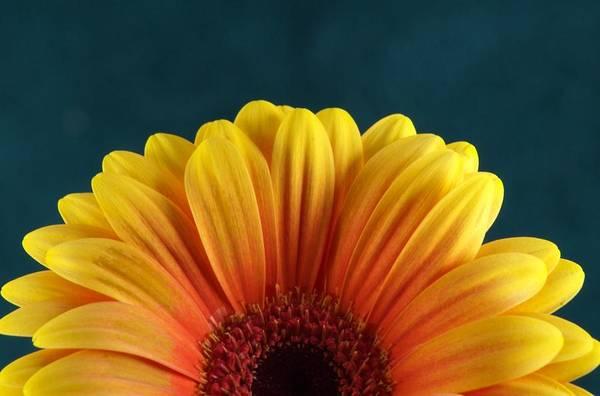 Gerbera Daisy Photograph - Gerbera Sunrise by Michael Park
