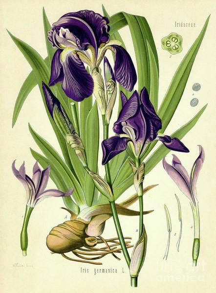 Bulb Drawing - German Iris by German School