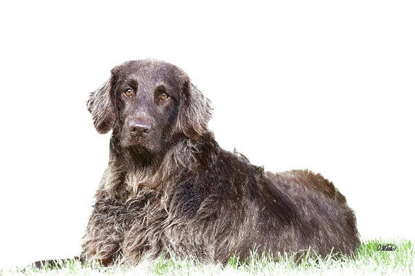 Drawing - German Longhair Pointer - Dwp782498 by Dean Wittle