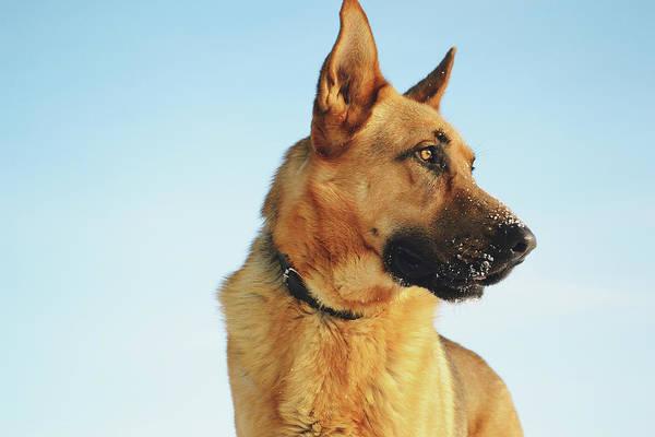 Service Dog Photograph - German Shepherd by Billy Soden