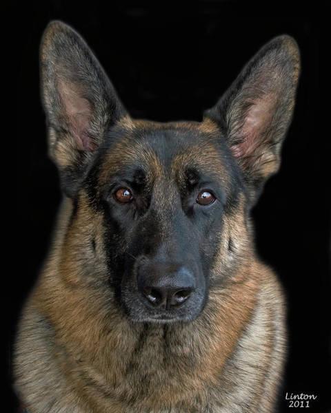 Photograph - German Shepherd Dog 2 by Larry Linton