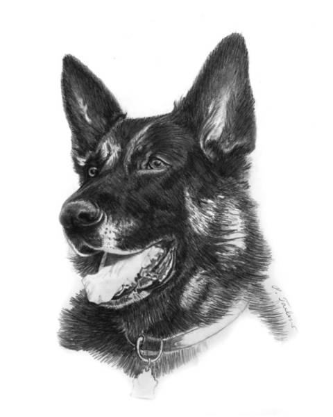 German Shepherd Drawing - German Shepherd Head by Phyllis Tarlow
