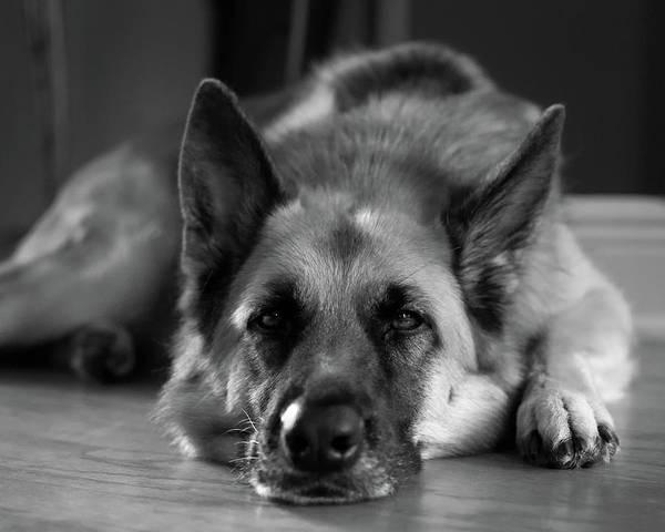 Perky Photograph - German Shepherd by James Barber