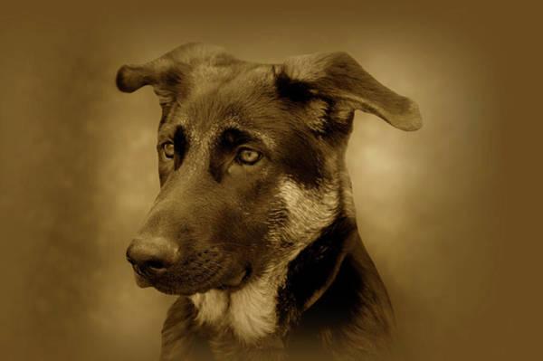 Photograph - German Shepherd Pup by Sandy Keeton