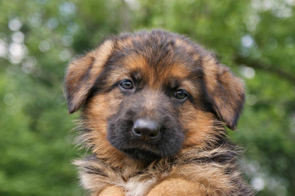 Photograph - German Shepherd Puppy II by Sandy Keeton