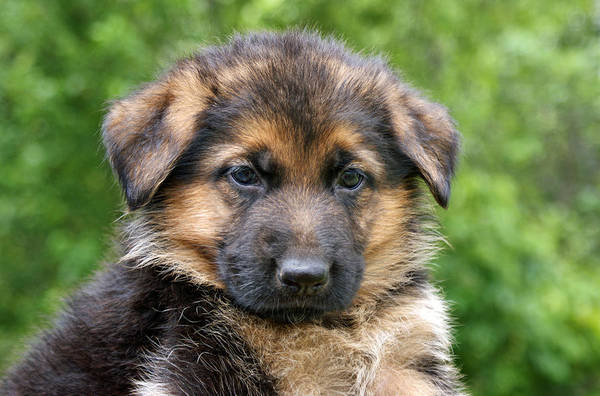 Photograph - German Shepherd Puppy by Sandy Keeton