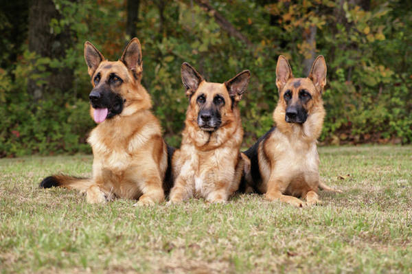 Photograph - German Shepherds - Family Portrait by Sandy Keeton