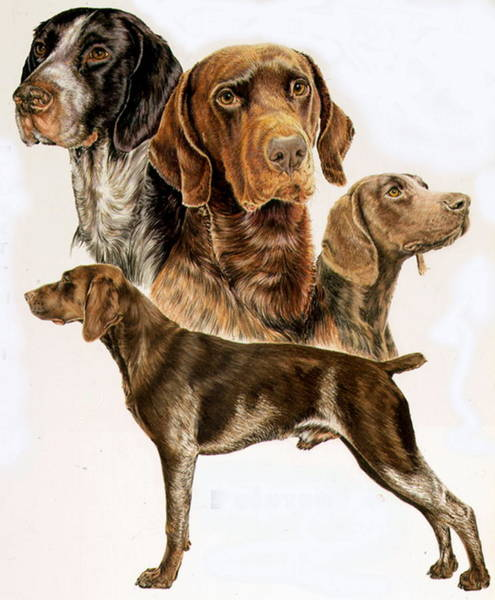 Drawing - German Short-haired Pointer by Barbara Keith