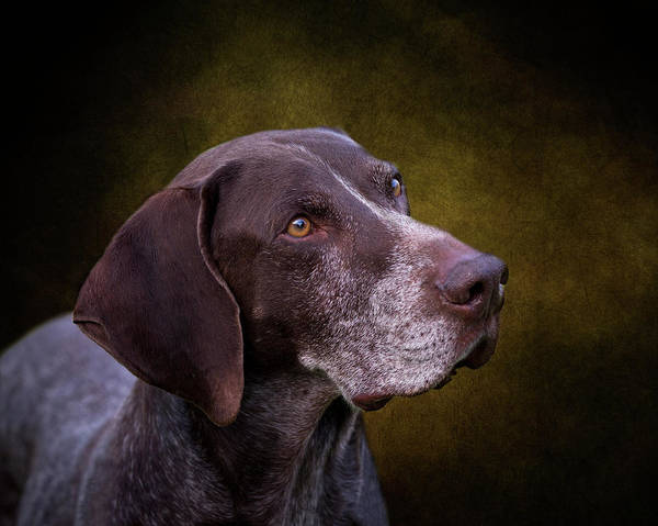 Photograph - German Shorthaired Pointer by Diana Andersen