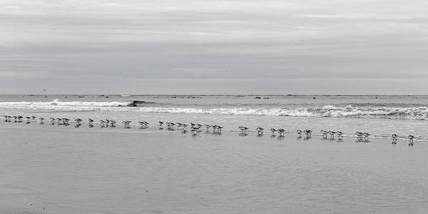 Sandpiper Photograph - Get Your Ducks In A Row by Betsy Knapp