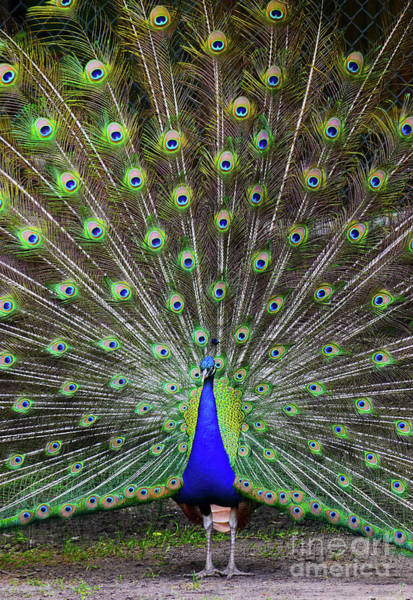 Photograph - Proud Peacock Close by Patti Whitten