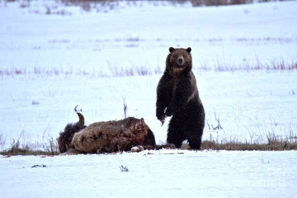 Photograph - Getting Ready For Dinner - Yellowstone Grizzly 2018 by Adam Jewell