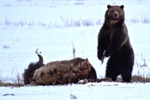 Photograph - Getting Ready For Dinner - Yellowstone Grizzly 2018 Crop by Adam Jewell
