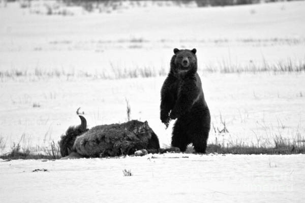 Photograph - Getting Ready For Dinner - Yellowstone Grizzly Black And White by Adam Jewell