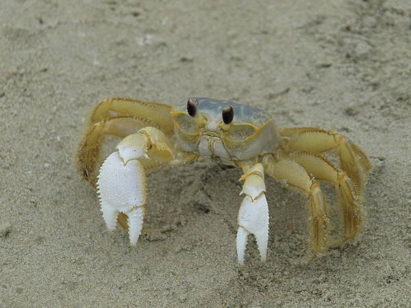 Ghost Crab - 1 Art Print
