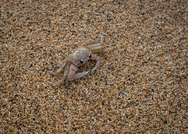 Photograph - Ghost Crab by Robert Potts