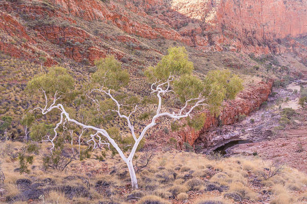 Northern Territory Photograph - Ghost Gum by Racheal Christian