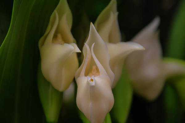 Wall Art - Photograph - Ghost Orchid by Garry Gay