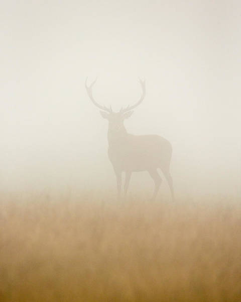 Stuart Photograph - Ghost Stag by Stuart Harling